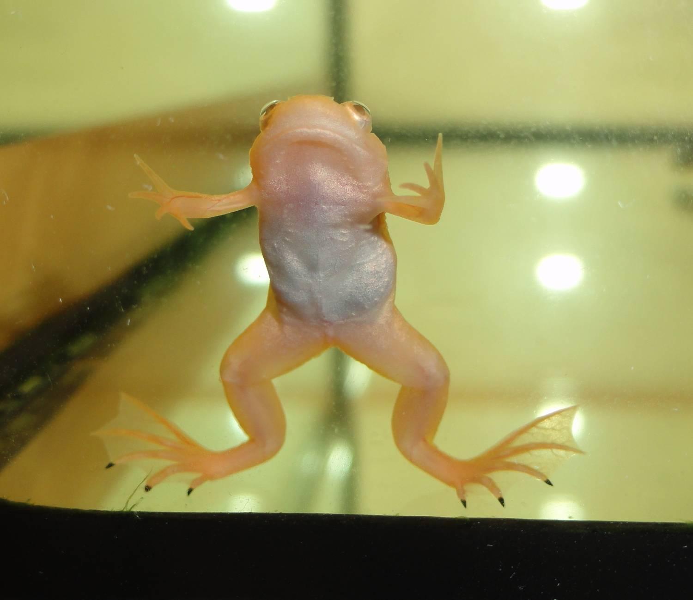 В домашних условиях лягушки